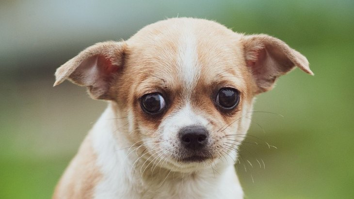 犬が『耳を下げている時』の心理4選