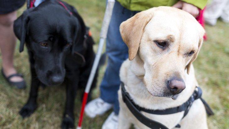 盲導犬の一生について 生まれてから亡くなるまでの犬生を追う
