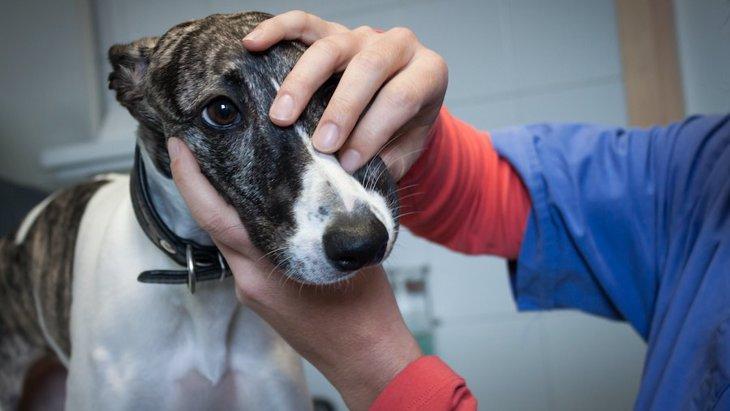 サイトハウンドが麻酔に弱い原因、他犬種にもリスク【研究結果】