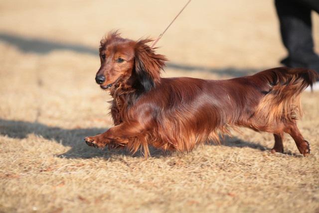 犬がよく転ぶようになった時に考えられる理由や病気
