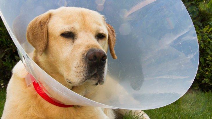 犬にエリザベスカラーが必要な理由と嫌がる時の対処法