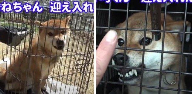 【元凶暴犬】噛む柴犬2匹をペアに!想像もつかなかった穏やかさに驚き