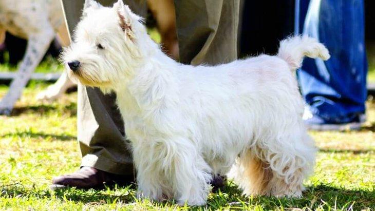 ウエストハイランドホワイトテリアの性格や特徴、しつけや飼い方まで