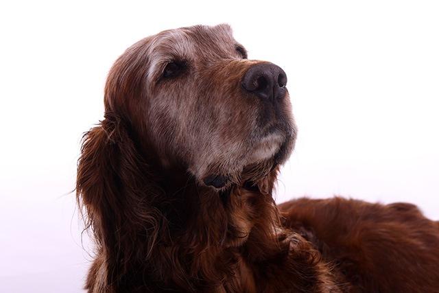 犬も年を取ると加齢臭が出る?3つの対策で嫌なニオイを防ごう!