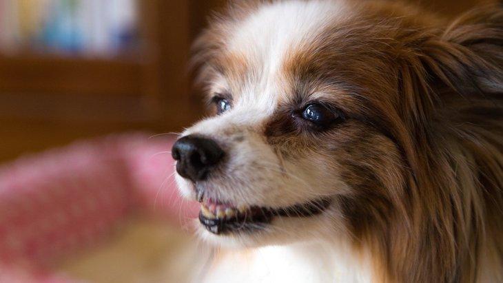 老犬が室内をウロウロする理由と対処法