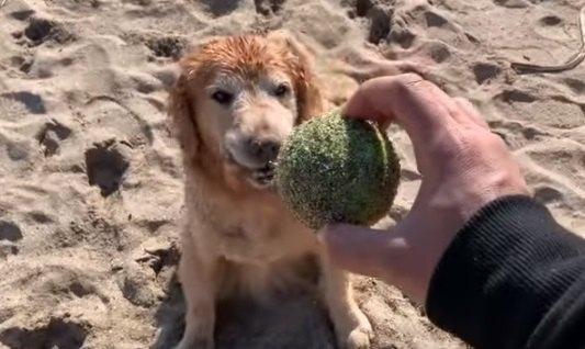 『楽しいな♪』砂浜とボールで独自の遊びを考えたゴールデンちゃん