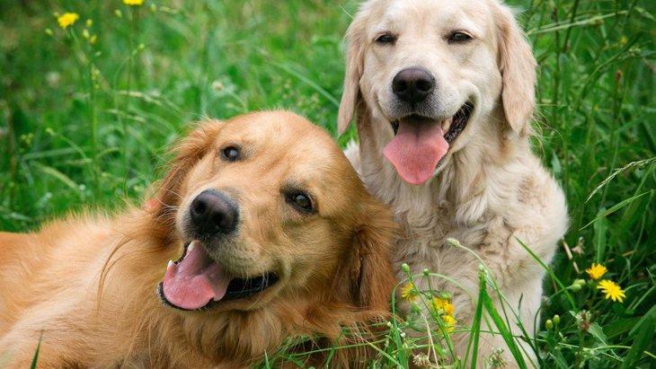 犬の多頭飼い!迎える前のチェックポイントと成功のコツ