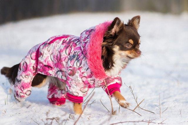 チワワの寒さ対策まとめ!留守番や散歩に必要な防寒具やおすすめグッズまで