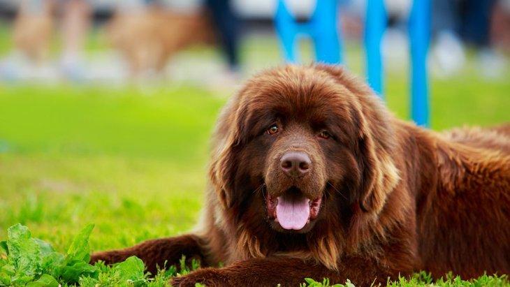 超大型犬6選!世界最大のワンコはどれくらい大きいの?