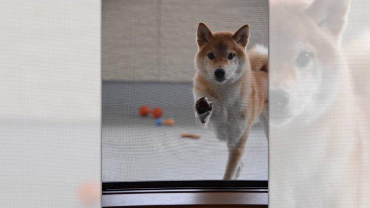 「入れて~」網戸を閉められちゃった柴犬さんの前足が可愛すぎ♡