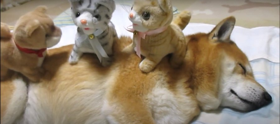 それでいいの…?鳴いて動くおもちゃを乗せられても眠る柴犬さん♡