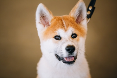 秋田犬ツーリズム設立について