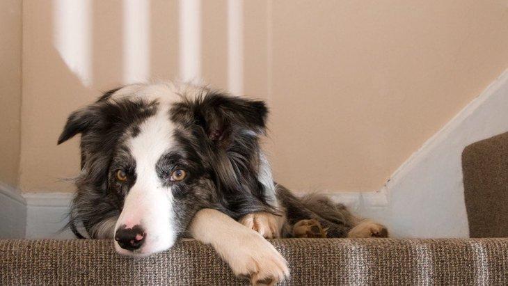 犬の階段上り下りトレーニング!怪我がないように慣れてもらおう