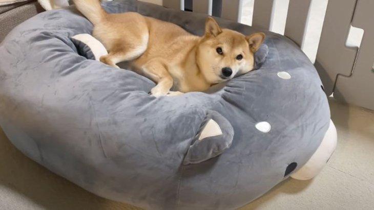 巨大柴犬クッションでくつろぐ柴犬さん♡