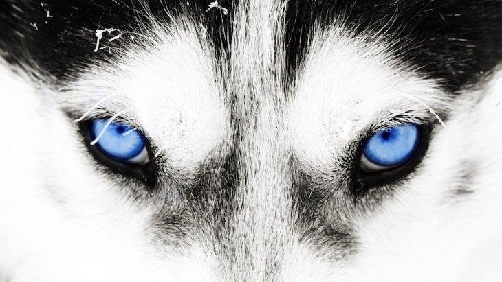 シベリアンハスキーの青い目の秘密が明らかになった!