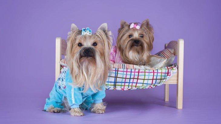 犬にパジャマを着せるメリットと注意点