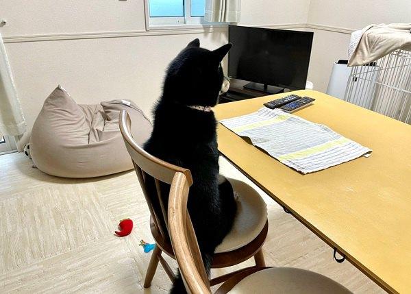 『ごはんまだ?』背筋ピーンで椅子に座って待ってる柴さんが話題!