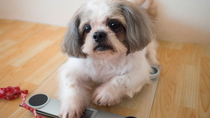 うちの犬、太り過ぎ!?平均体重と正しい測り方を解説