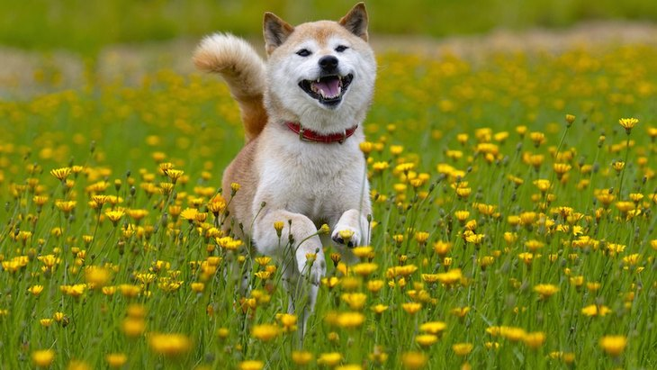 柴犬は狼に一番近い遺伝子を持つ犬種!歴史やルーツ、海外の反応について