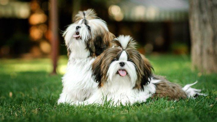 『体臭が強い犬種』4選!どんな特徴や共通点があるの?
