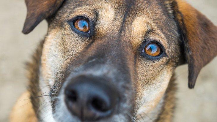 犬の目にも起こる、白内障と似た症状の「角膜ジストロフィー」とは