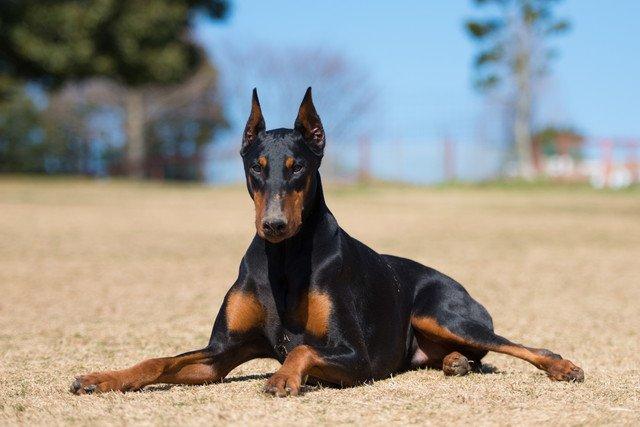 ドーベルマンの性格と特徴、子犬の値段や飼い方など