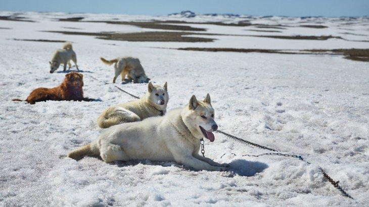 20世紀初頭の英国南極探検隊のソリ犬たちの食事内容【研究結果】