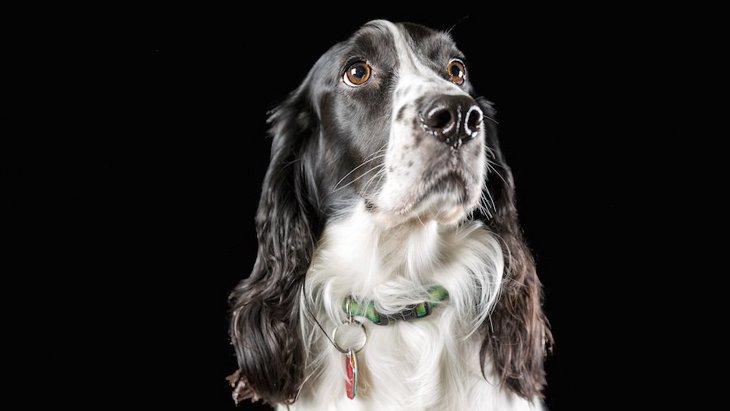 犬がマラリア感染を嗅ぎ分ける【研究結果】