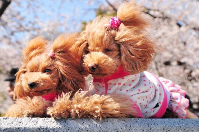 ドッグブリーディングと犬の健全性、ちょっと考えてみてください