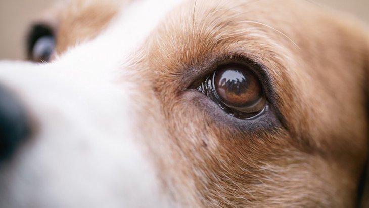 犬の雪眼炎ってなに?症状や対策
