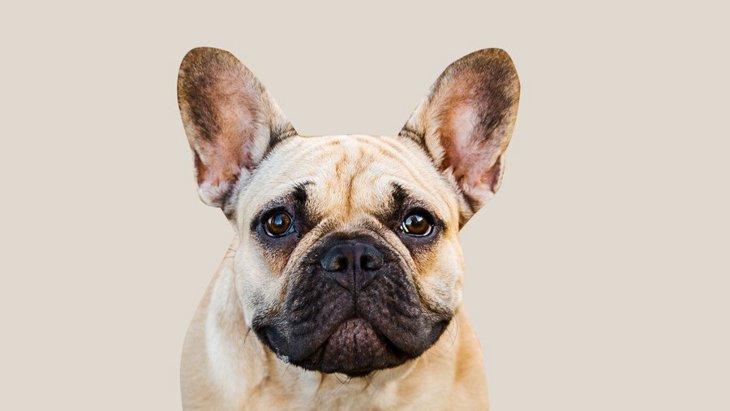 『鼻ぺちゃ犬』の飼い主が必ず知っておかなければいけないこと5選