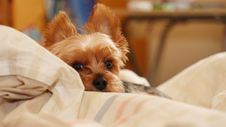 犬が布団をホリホリする心理4選