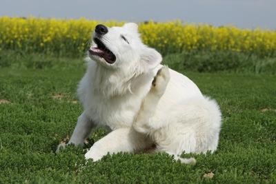 犬のノミ対策!予防法や駆除薬について