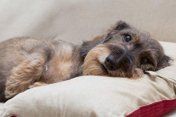 犬がおとなしすぎる時は注意が必要?もしかしたら病気のサインかも