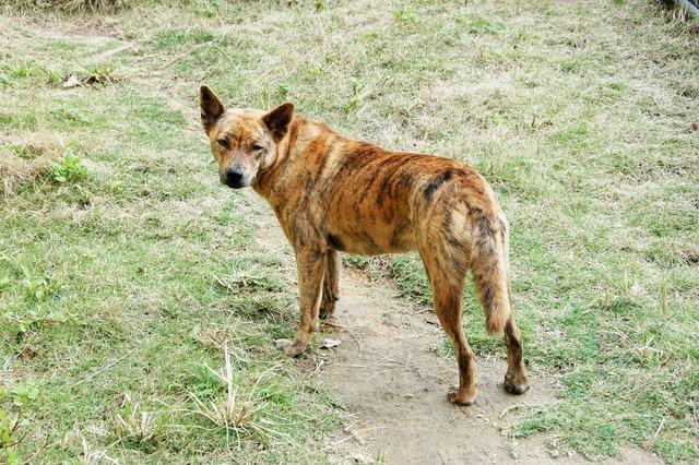 琉球犬を知っていますか?素朴で可愛い沖縄原産の日本犬【天然記念物】
