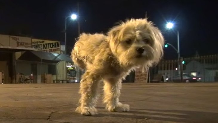 3本足の小型犬を保護。人を信頼できたら即ヘソ天で寝落ち