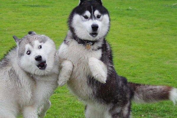 【爆笑】今年の「変顔大賞」確定?!ハスキー犬奇跡の1枚がこちら!