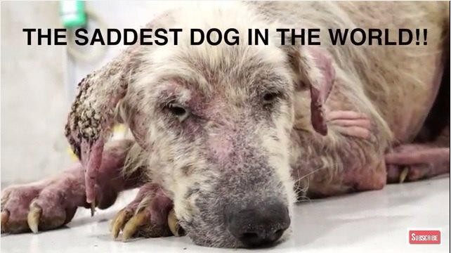 """""""世界で最も悲しい犬""""と言われた犬の奇跡の回復"""
