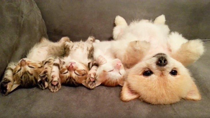 この中にスパイがいる!?仔猫と一緒のポーズで眠るポメラニアンが可愛すぎて悶絶!(まとめ)