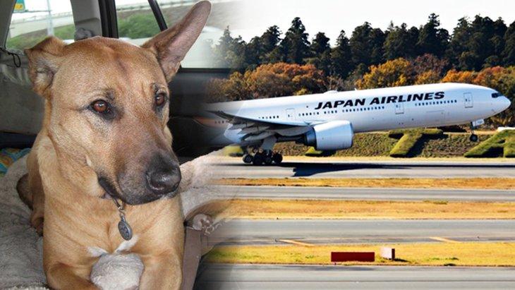 JALチャーター便、ワンワンJETで愛犬と機内で一緒の空の旅を!