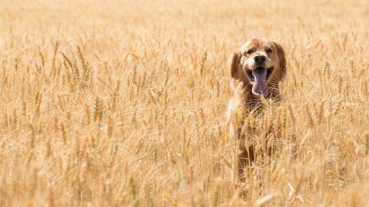 犬に小麦を与えてはいけないと言われている理由