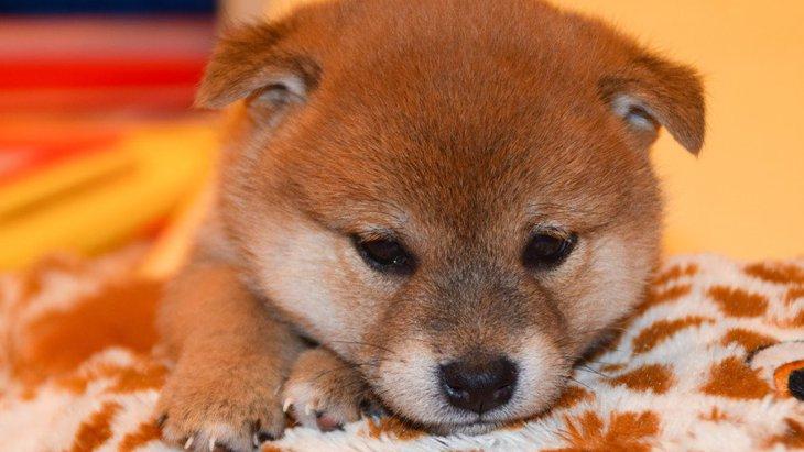 柴犬のトイレトレーニングの方法とは 他の犬とは少し違うしつけの注意点