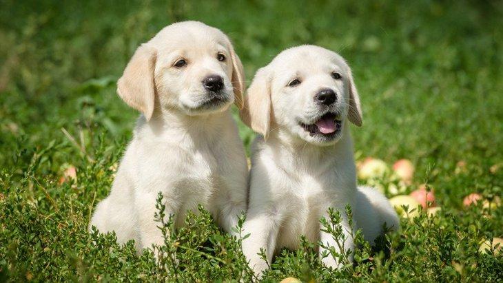 レトリバーの種類 性格や特徴、子犬の迎え方まで