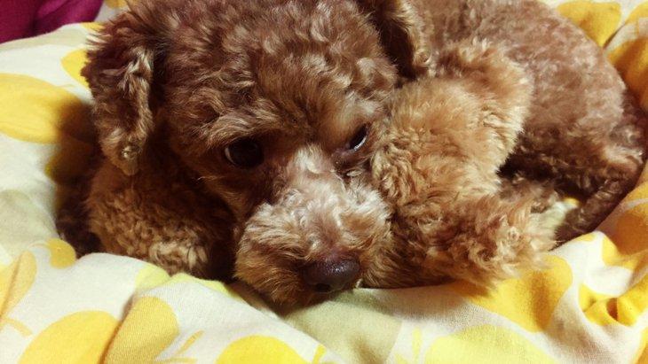 犬が布団に入りたがる5つの理由