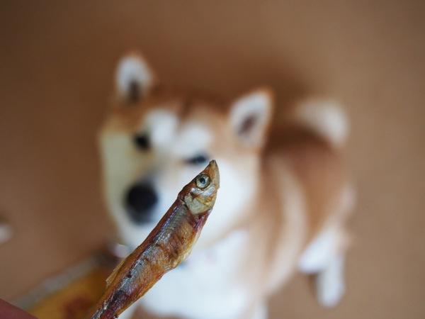犬の健康おやつ「国産天然ワカサギ」塩分控えめで安心!カルシウム摂取に!