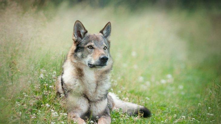 狼犬の種類と特徴、主な性格から幼犬の値段まで