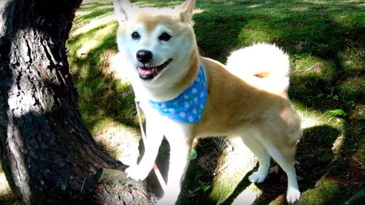 モデル業に勤しむ柴犬ちゃんが魅力的過ぎる