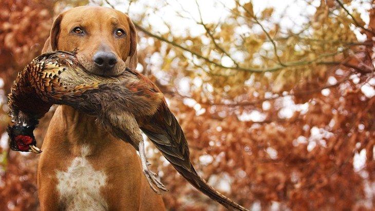 猟犬の育成や訓練の方法と狩猟が抱える問題