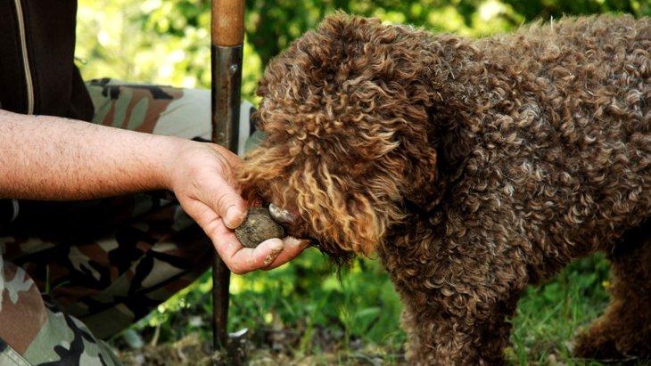 トリュフ犬とは 一攫千金も夢じゃない特別なワンコ達