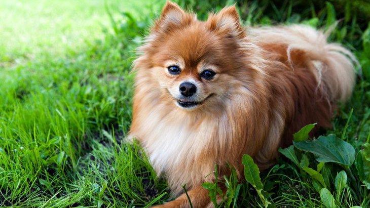 ポメラニアンのミックス犬!人気の10種類をご紹介
